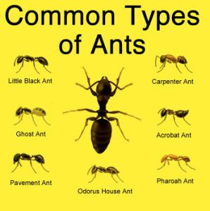 Common Types of Ants Southern CA
